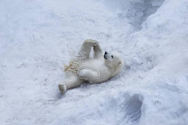 Portrait of polar bear cub practicing yoga on the snow. stock photo