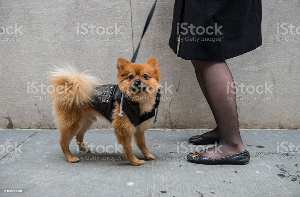 Portrait of pomeranian dog on street Portrait of pomeranian dog on street 50-59 Years Stock Photo