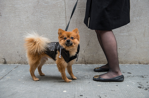 Portrait Of Pomeranian Dog On Street Stock Photo - Download Image Now