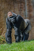 Portrait of powerful alpha male African gorilla at guard, zoom, details