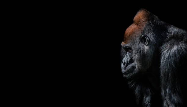 retrato del gorila africano macho alfa potente en guardia - gorila fotografías e imágenes de stock