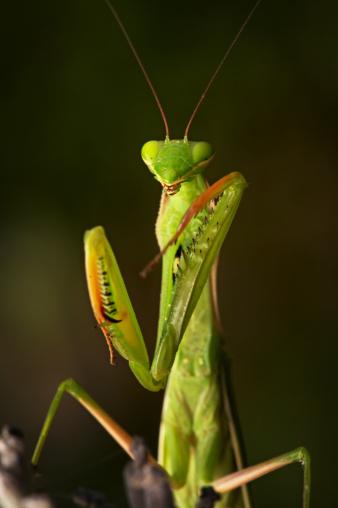 Praying Mantis, Serengeti National Park, Tanzania, East Africa