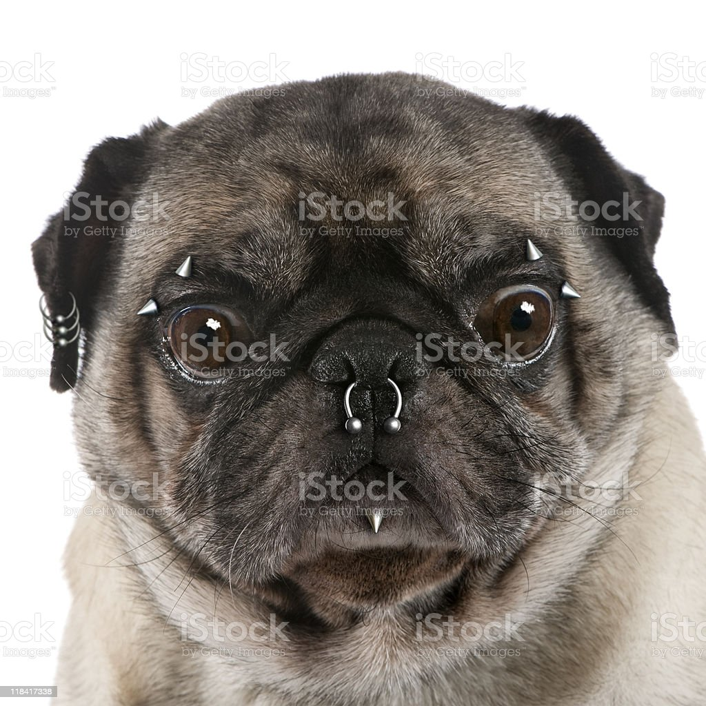 Portrait of pug with nose and face piercings stock photo