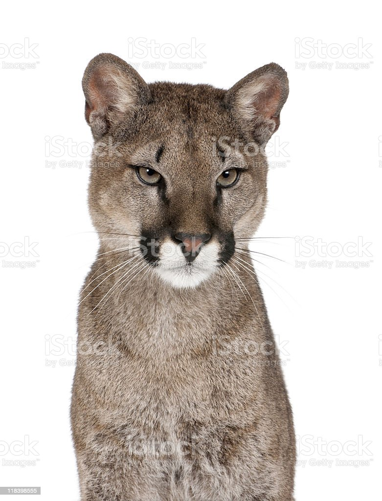 Portrait of Puma cub looking away against white background royalty-free stock photo