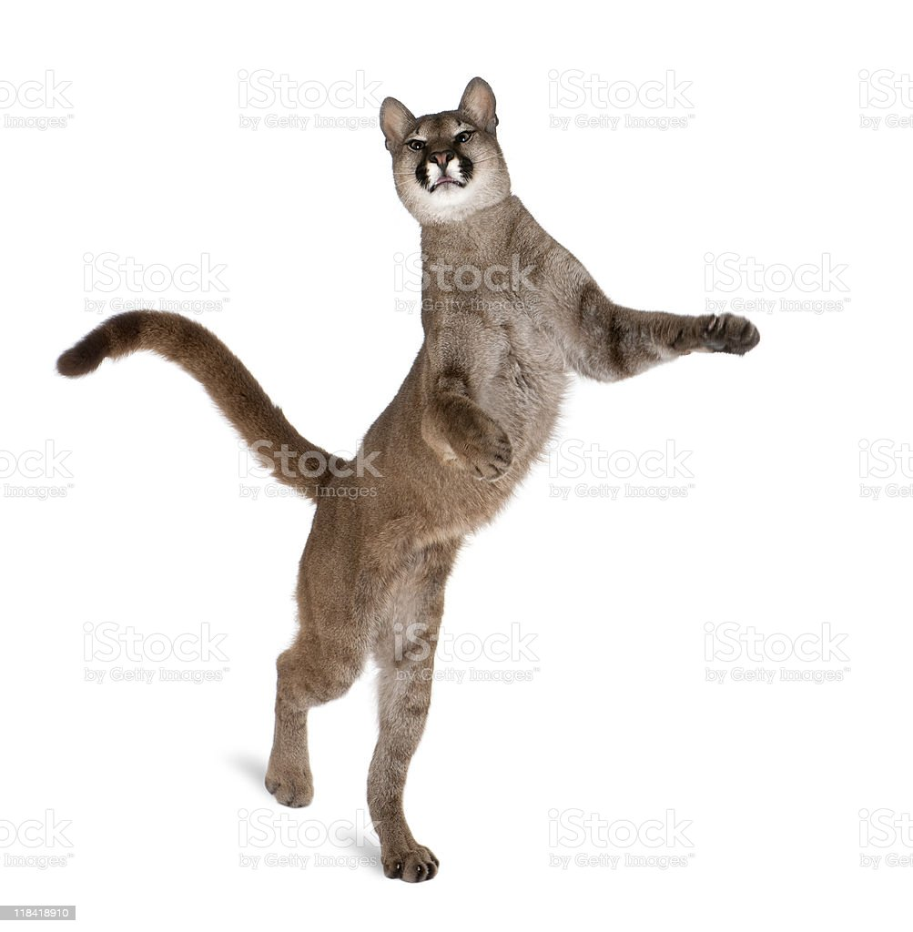 Portrait of Puma cub on hind legs against white background royalty-free stock photo