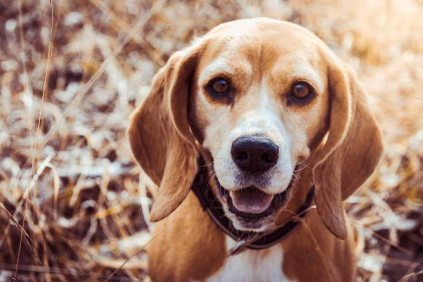 Portrait of pure breed beagle dog. Beagle close up face smiling. Happy dog. Funny portrait of pure breed beagle dog. Beagle close up face smiling. Happy dog. beagle stock pictures, royalty-free photos & images