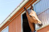 Portrait of playing purebred chestnut horse in stable window. Multicolored summertime outdoors horizontal image.