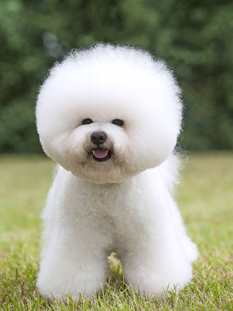 top bichon frise stock photos pictures and images istock