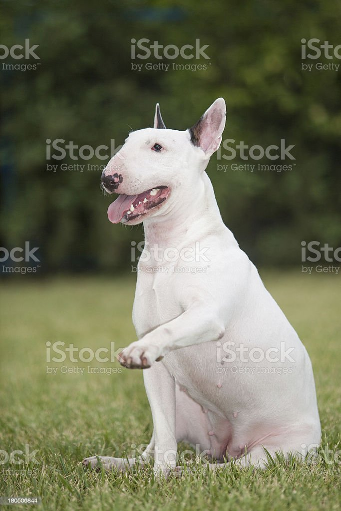 Portrait of purebred dog Bull Terrier on green background royalty-free stock photo