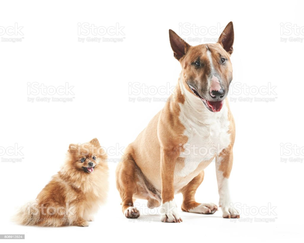 Portrait Of Purebreed Bull Terrier And Small Pomeranian Spitz