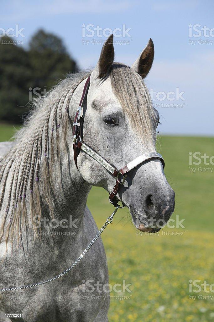 Portrait of quarter horse royalty-free stock photo