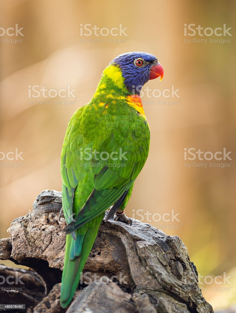 Portrait of  rainbow lorikeet stock photo