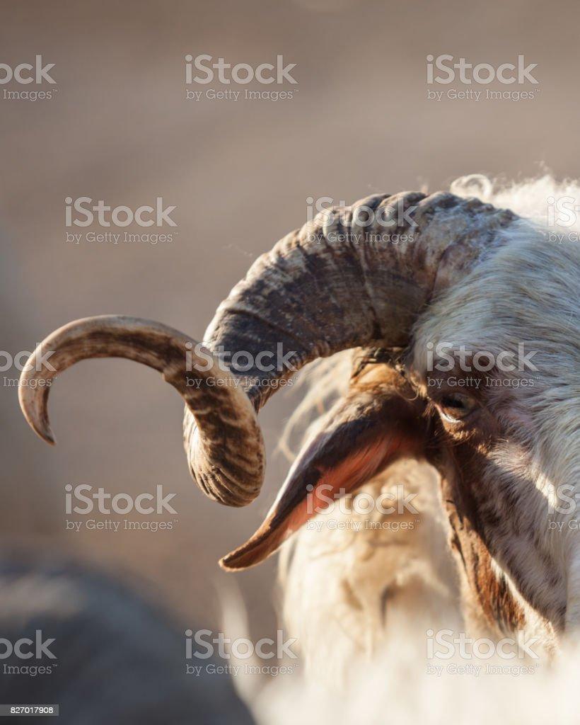Portrait Of Ram In Livestock Market For Eid Al-Adha Or Kurban Bayrami stock photo