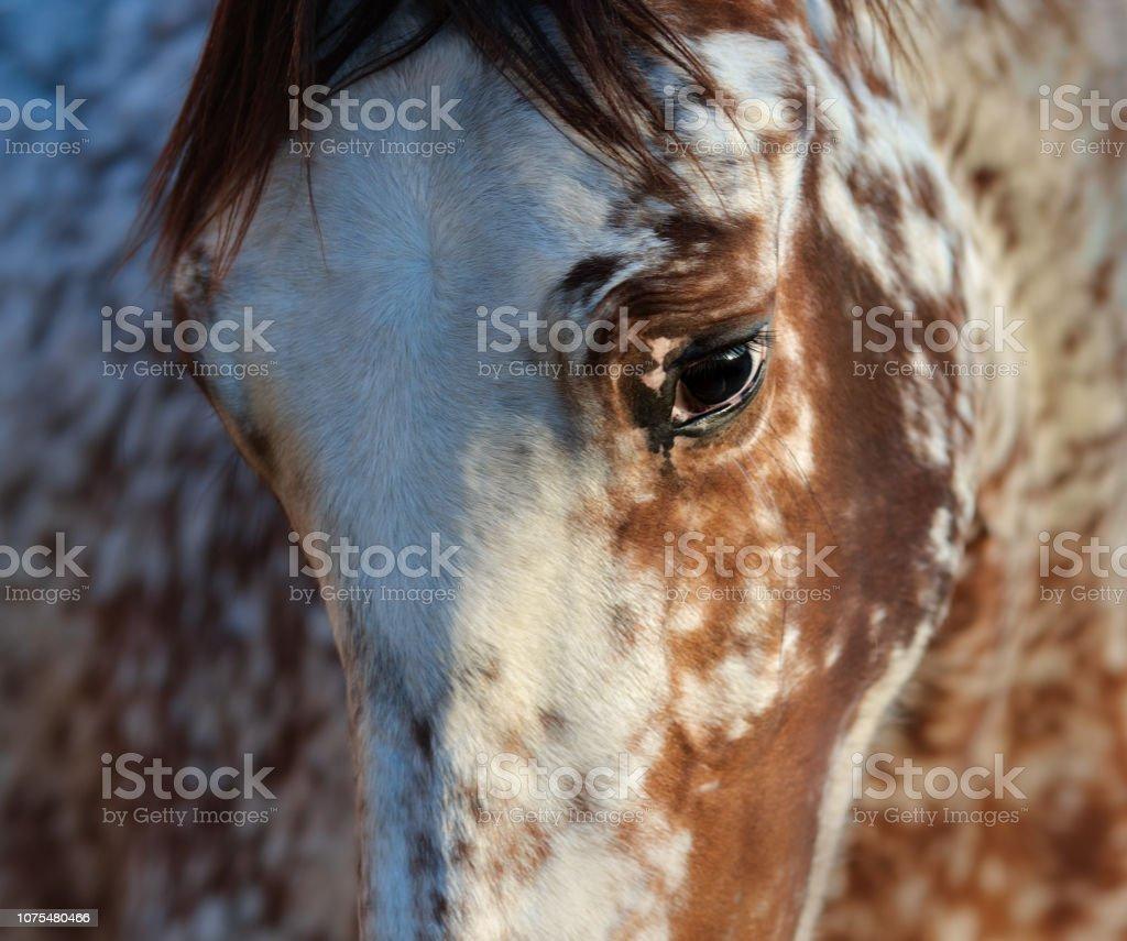 Portrait of rare mixed breed of Spanish and Appaloosa horse. stock photo