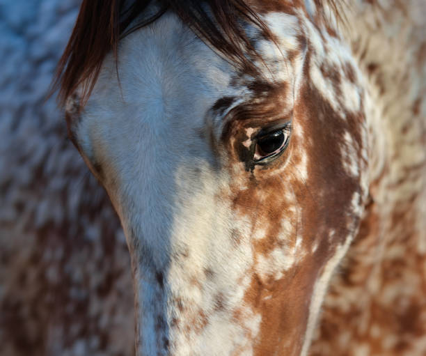 Portrait of rare mixed breed of Spanish and Appaloosa horse. Beautiful rarity unique color appaloosa. Crossbreed between Appaloosa and Andalusian horse. appaloosa stock pictures, royalty-free photos & images