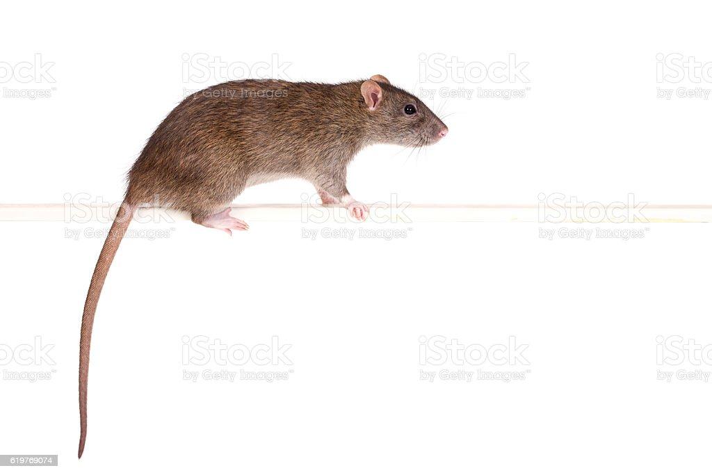 portrait of rat stock photo