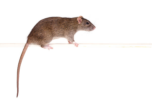 portrait d'un rat - Photo