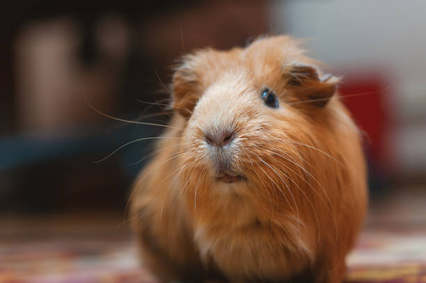 Portrait of red guinea pig, close up. stock photo