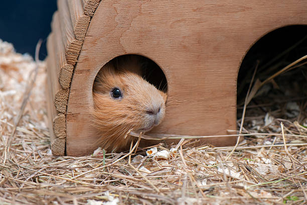 Portrait of red guinea pig. stock photo