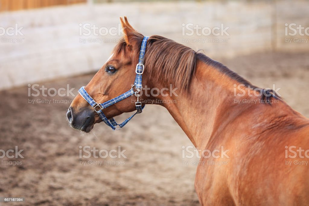 Portrait of red horse in the arena stock photo