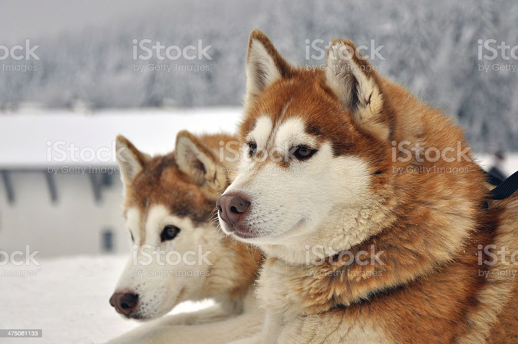 Portrait Of Red Siberian Husky Dogs Stock Photo & More Pictures of ...