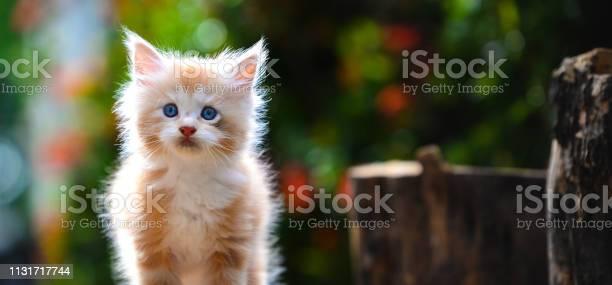 Portrait of red silver ticked white maincoon kitten sitting on a log picture id1131717744?b=1&k=6&m=1131717744&s=612x612&h=fceq2zqa9ln2xlr2rdppxcevuwnq3 fr4a5 uzqkzlm=