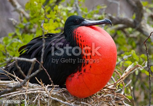 Portrait Of Redbellied Frigate Stock Photo & More Pictures of Animal