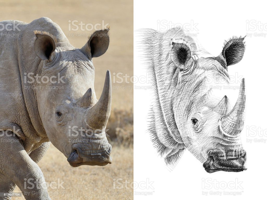 Retrato de rhino antes y después de dibujado a mano en lápiz - foto de stock