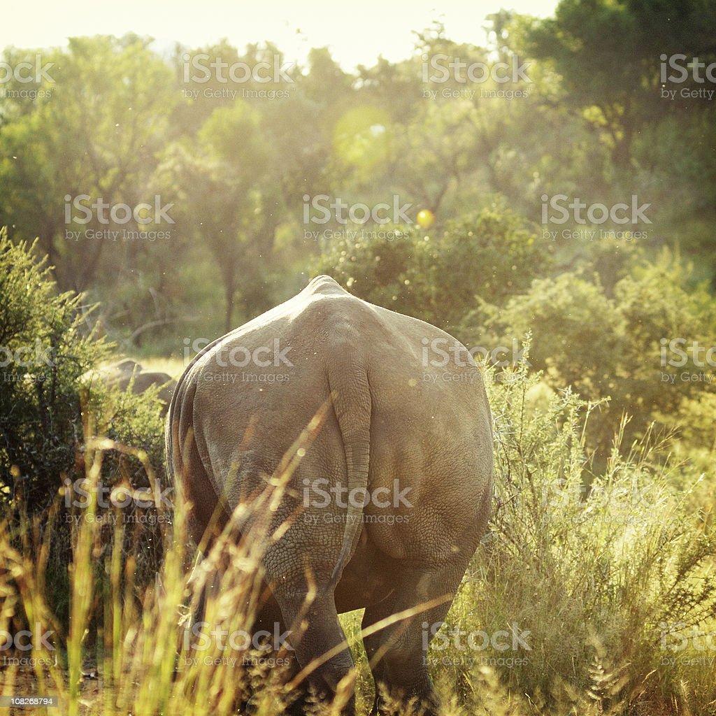 Portrait of Rhinoceros Walking Away into the Bush royalty-free stock photo