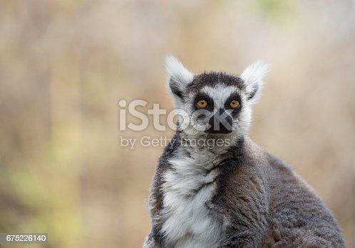 istock Portrait of ring-tailed lemur (Lemur catta). 675226140