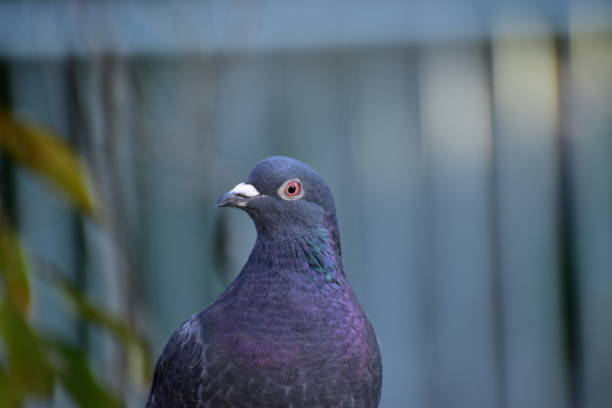 Portrait of rock dove stock photo