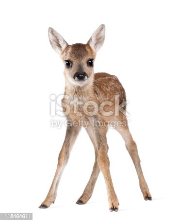 istock Portrait of Roe Deer Fawn standing against white background 118464611
