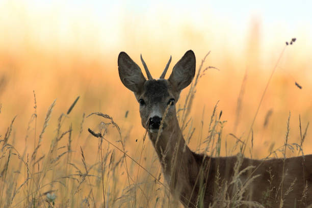 Portrait of roe deer´s head on the meadow stock photo