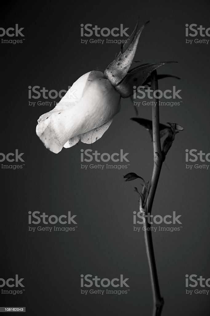 Portrait of Rose with Broken Stem, Black and White royalty-free stock photo