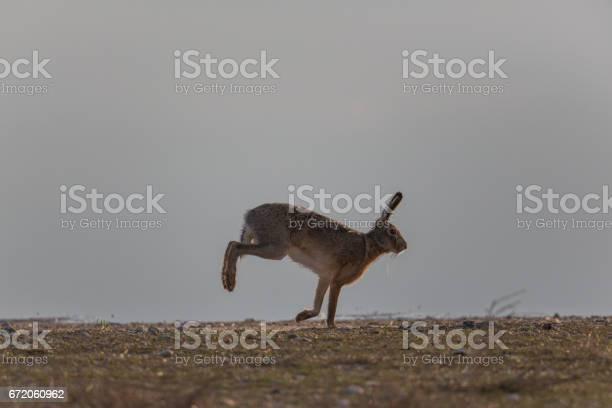 Portrait of running brown hare picture id672060962?b=1&k=6&m=672060962&s=612x612&h=edqdvyu6plvwmp88qfkeswdqoiaetcmpzt1oi1cgg5y=