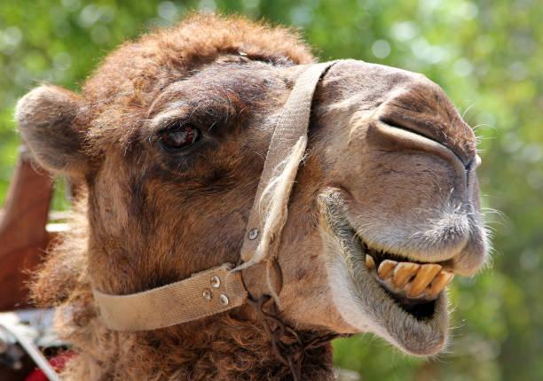portrait of s smiling camel - camello fotografías e imágenes de stock