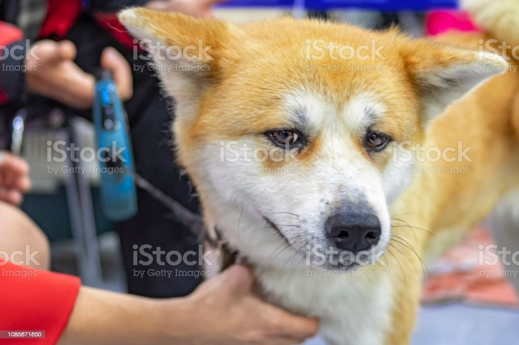 Portrait of sad dog Akita-inu. Head cute dog