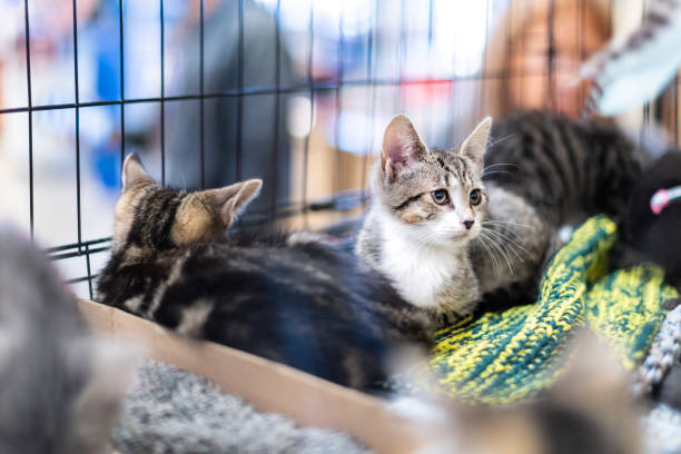 Portrait of sad tabby and white kitten cat looking through cage behind bars waiting for adoption with siblings Portrait of sad tabby and white kitten cat looking through cage behind bars waiting for adoption with siblings sheltering stock pictures, royalty-free photos & images
