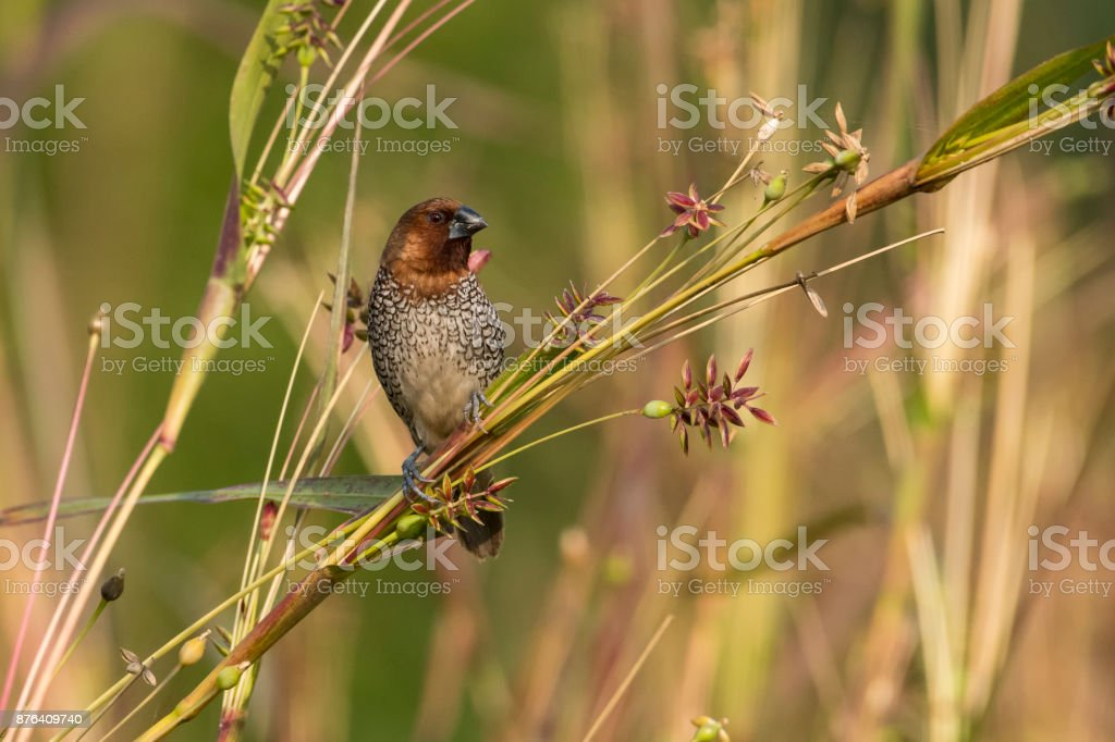 Portrait of Scaly Breasted Munia Sitting on Branch stock photo