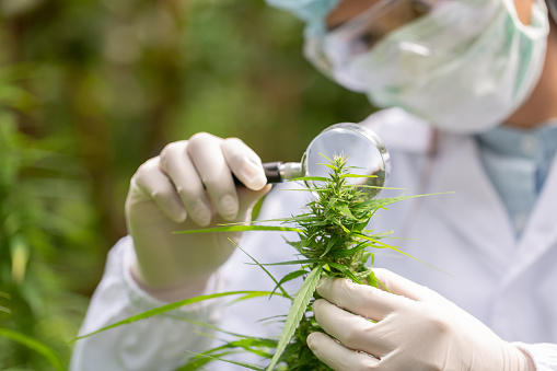 1177762728 istock photo Portrait of scientist with mask checking hemp plants in a greenhouse. Concept of herbal alternative medicine, CBD cannabis oil. 1189852888