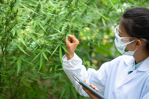 1177762728 istock photo Portrait of scientist with mask checking hemp plants in a greenhouse. Concept of herbal alternative medicine, CBD cannabis oil. 1256951419
