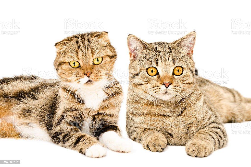 Portrait of Scottish Fold and Scottish Straight cats lying together stock photo