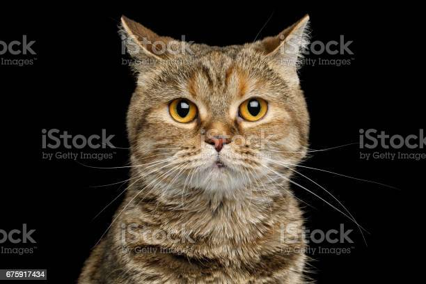 Portrait of scottish fold breed cat on isolated black background picture id675917434?b=1&k=6&m=675917434&s=612x612&h=wfnfmm8et3fglh7ue1f4lztcitb 6aipxsiuhugrlp8=