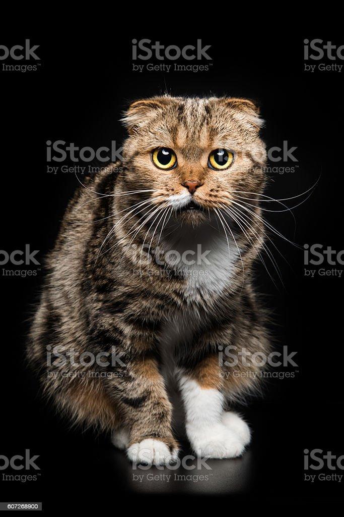 Portrait of Scottish Fold cat on a black background stock photo
