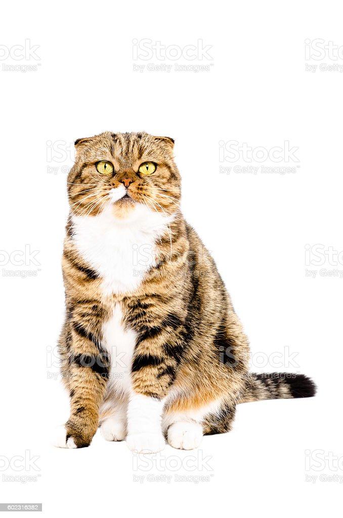 Portrait of Scottish Fold cat stock photo