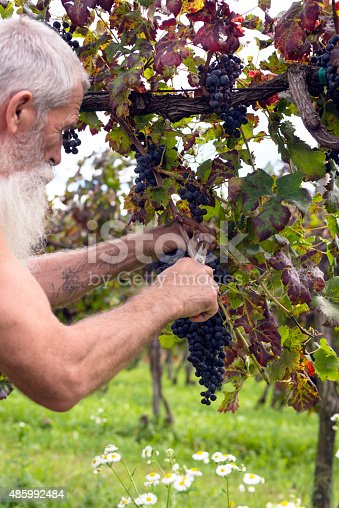 540524550 istock photo Portrait of Senior Man with Long Beard Picking Grapes, Europe 485992484