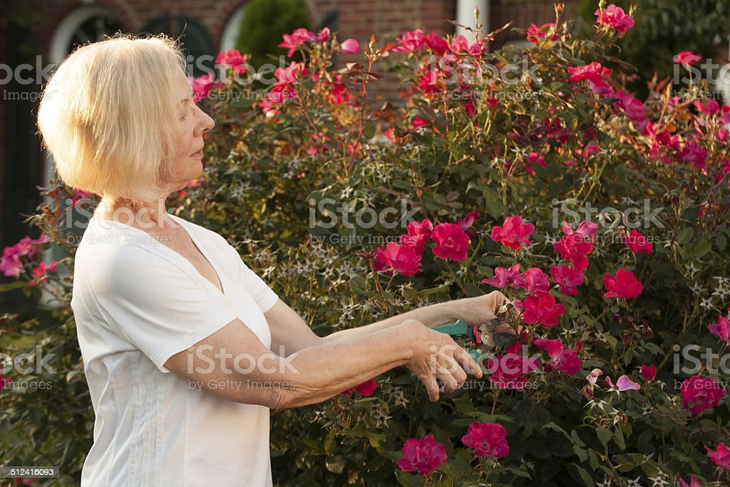 Portrait of senior woman outside pruning roses stock photo