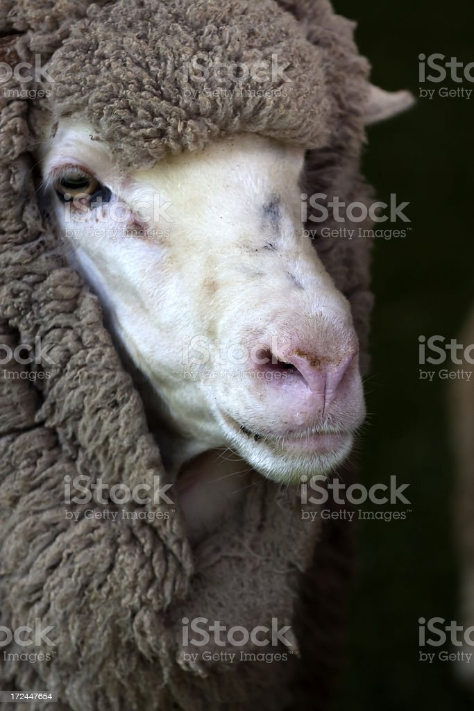 Portrait of Sheep against dark background with copy space royalty-free stock photo