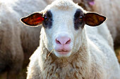 Closeup front view of sheep head, background with copy space, horizontal composition