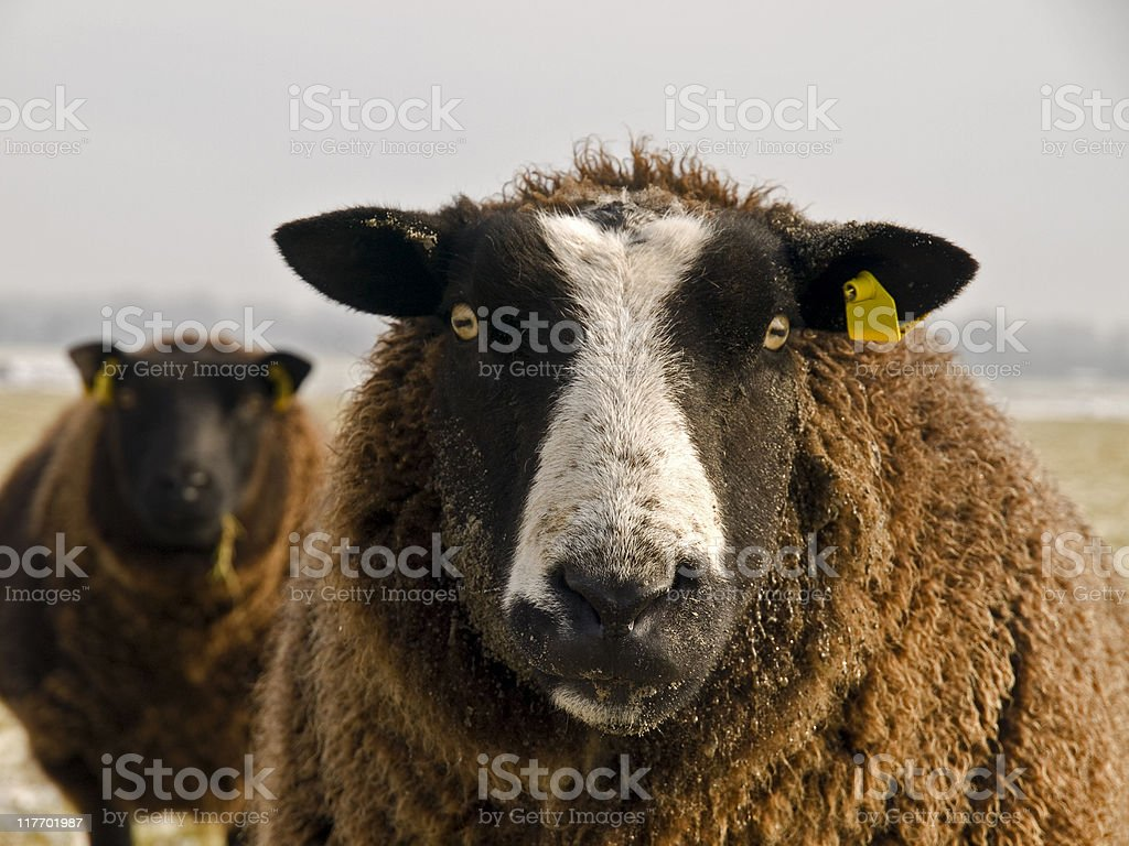 Portrait of Sheep in Winter Coat royalty-free stock photo
